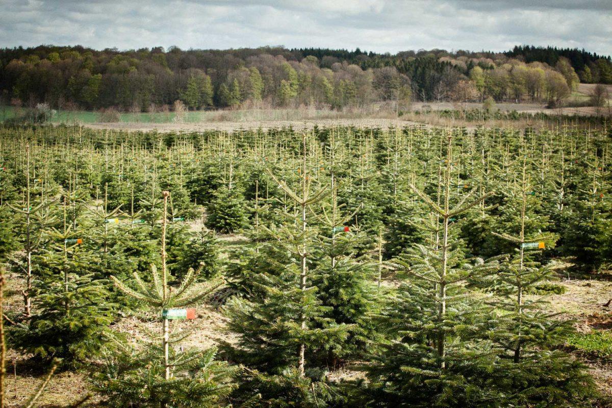 Warum Bio-Weihnachtsbaumproduktion? Darum: